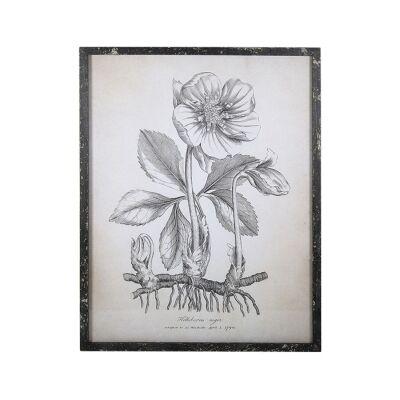 Anis Framed Botanical Illustration Wall Art Print, Helleborus Niger, 54cm