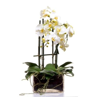 55cm Phalaenopsis Orchid with Square Glass Vase